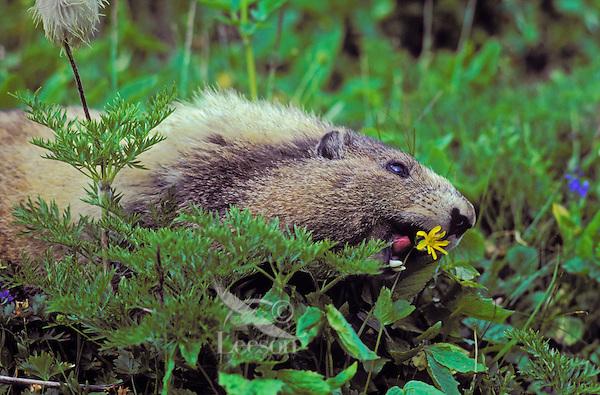 Hoary Marmot eating yellow arnica..Cascade Mountains, British Columbia..Canada. (Marmota caligata).