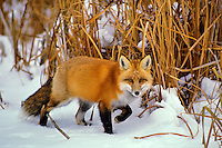 Red fox (Vulpes vulpes) among edge of frozen pond (cattails in background).  Winter.