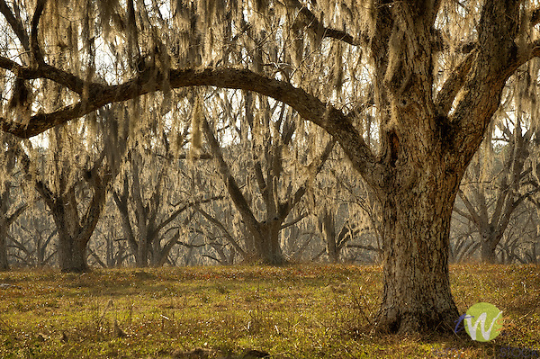 Old pecan grove and trees with moss. Florida.