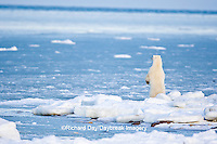 01874-12015 Polar Bear (Ursus maritimus) standing along Hudson Bay in winter, Churchill Wildlife Management Area, Churchill, MB Canada