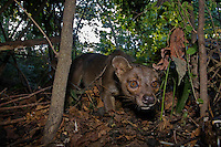 Fossa in the bush.<br />