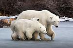 Polar Bear Family, (Ursus maritimus), Churchill, Manitoba, Canada Canada, Manitoba, Churchill, polar bear (Ursus maritimus)