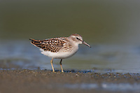 Least Sandpiper (Calidris minutilla), East Pond, Jamaica Bay Wildlife Refuge