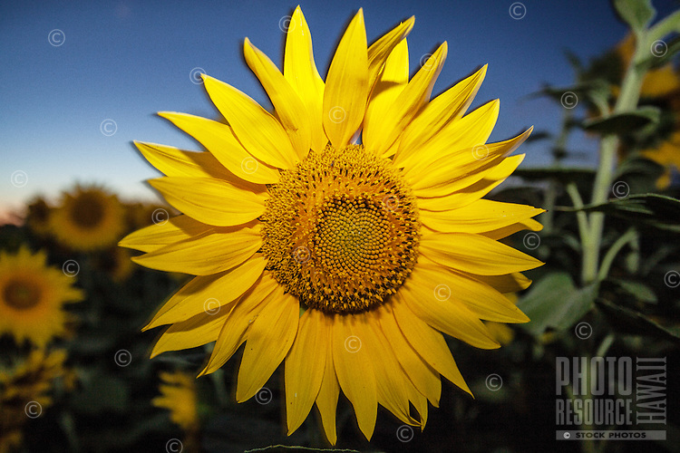 Close-up view of a sunflower at dusk in Haleiwa, O'ahu.