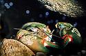 Yabby (Cherax destructor) underwater in freshwater eastern Australia. Class: Crustacea,; subclass: Malacostraca