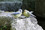 Blue tit feeds a fledgling in a backgarden by Roger Clark