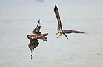 Two eagles engage in a mid-air battle over a fish caught from a river.  Both birds can be seen trying to clutch the prey with their talons as they fly over the water.<br /> <br /> Moments before, one of the black eagles caught the small rohu and then the other attempted to steal it, causing the fight.  However, both hunters were left empty-handed as the fish dropped back into the river, with one photograph showing the moment it slips out of their grip.  SEE OUR COPY FOR DETAILS.<br /> <br /> Please byline: Priyesh Kumar/Solent News<br /> <br /> © Priyesh Kumar/Solent News & Photo Agency<br /> UK +44 (0) 2380 458800