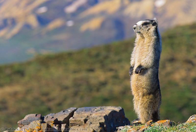 Hoary Marmot stands upright, on alert on a mountain ridge, Denali National Park, Alaska.
