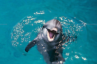 Common Bottlenose Dolphin or Bottle-nosed dolphin or Common Bottlenose Dolphin (Tursiops truncatus)