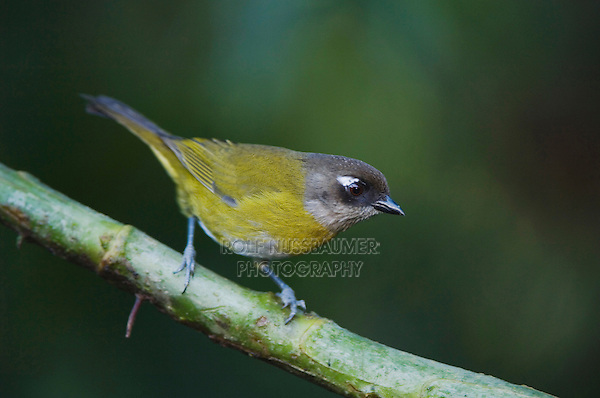 Common Bush-Tanager, Chlorospingus ophthalmicus, adult perched, Central Valley, Costa Rica, Central America, December 2006