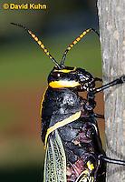 0913-0804  Adult Horse Lubber Grasshopper - Taeniopoda eques © David Kuhn/Dwight Kuhn Photography.