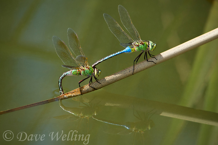 339430033 a wild mating pair of common green darner dragonflies anax junius perch on a cattail reed while the female oviposits at fullerton arboretum fullerton california united states