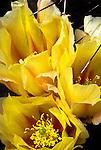 Opuntia cactus blossoms, San Xavier del Bac Mission, Tucson, Arizona