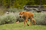 A bison calf walking in the sage brush in Yellowstone National Park, May 31, 2011. Photo by Gus Curtis.