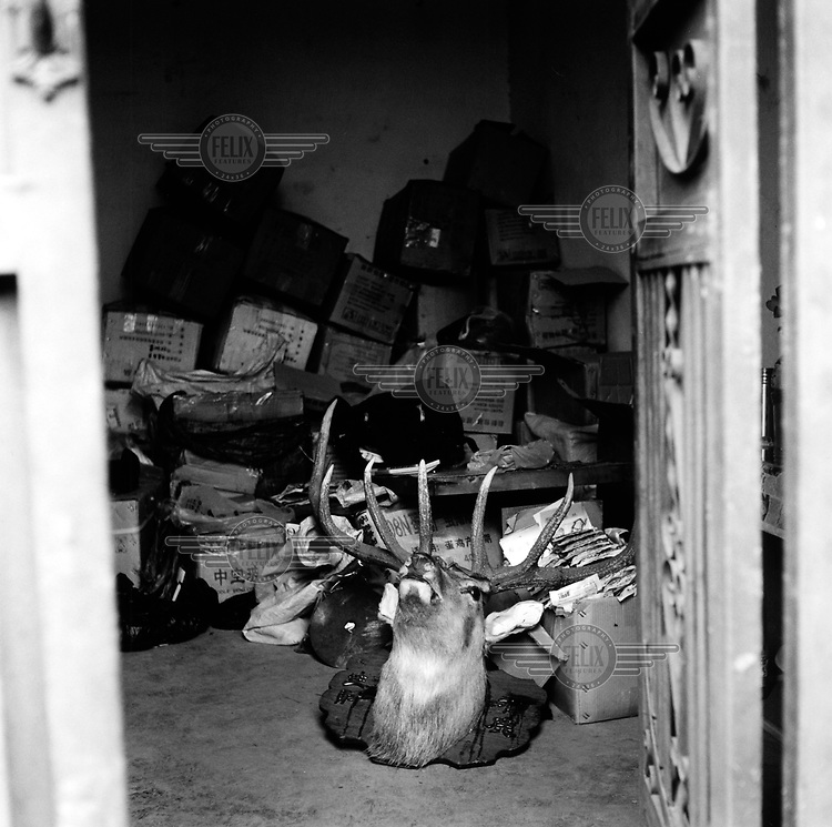 Two stuffed deer heads lie on the floor in a back room of a shop which sells illegal animal goods in Dali. The shop owner was asking USD 100 for the heads. .