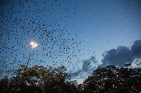 An awesome sight as 100,000 Purple Martin Sparrows take flight at Highland Mall, Austin, Texas.