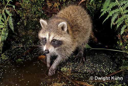 MA25-197z   Raccoon - hunting for food in the mud - Procyon lotor