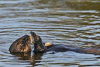 Sea Otter (Enhydra lutris) feeding on mollusk.