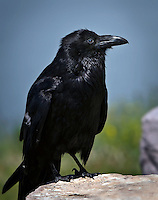Common Raven perched on a rock
