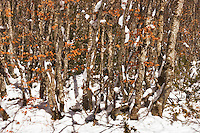 Beech forest in snow on a mountainside in the Cirque d?Archiane. Diois, Drome, Rhone-Alpes, France.