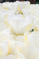 White flowers stock images photos images plant flower stock tulipa angels dream white tulips mightylinksfo