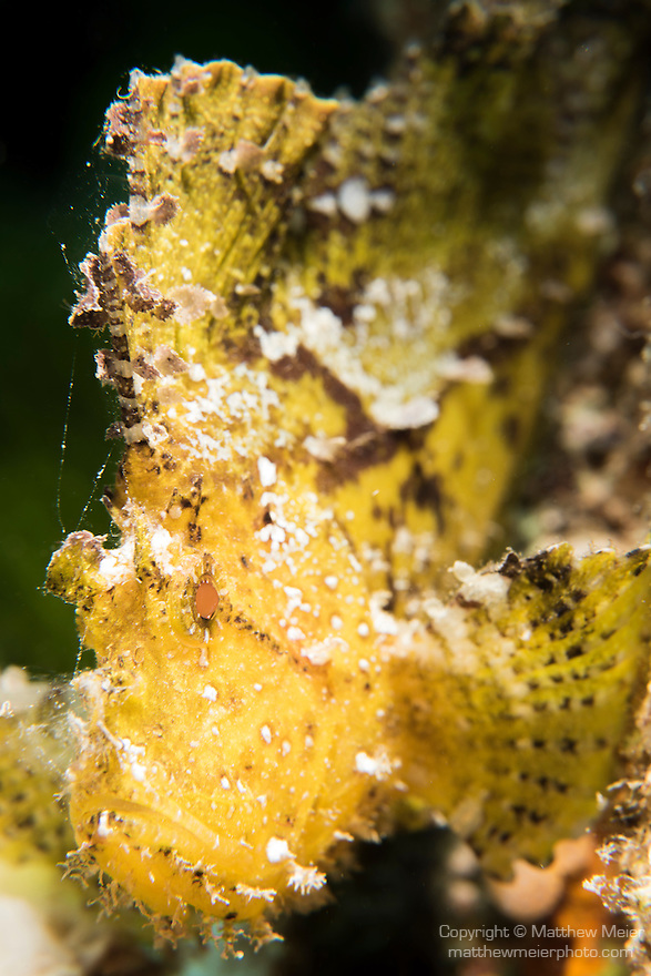 Great Barrier Reef, Australia; a yellow leaf scorpionfish hiding amongst staghorn corals on the reef