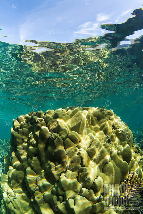 Healthy coral at Olowalu, Maui, Hawaii.