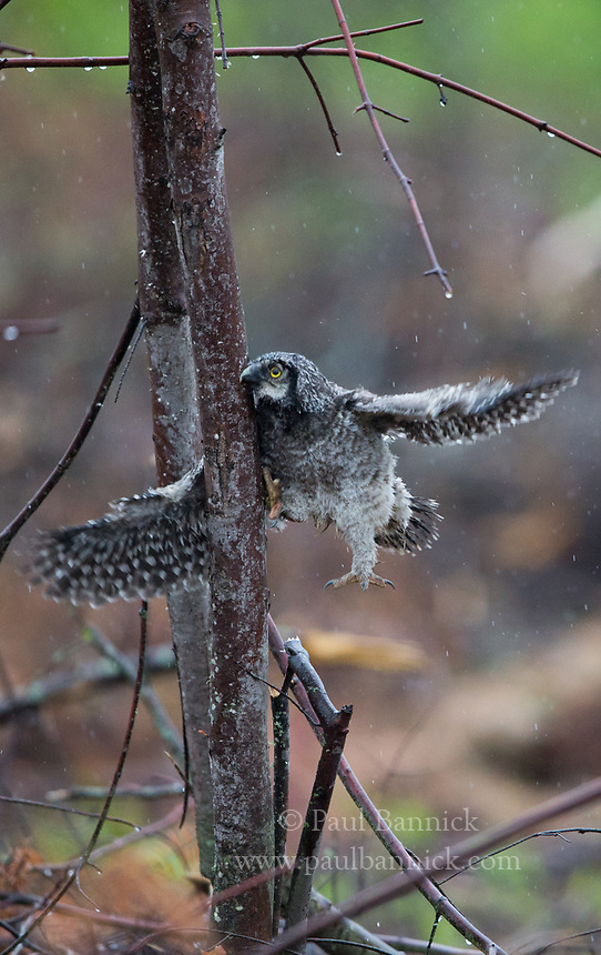 A fledgling Northern Hawk Owl struggles to climb a tree a day after leaving the nest. (Minnesota)