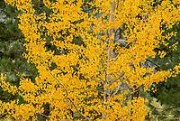 Aspen tree in the Methow Valley, Washington