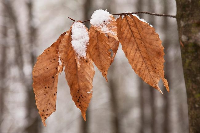 Fresh snow and winter beech tree, Unicoi County