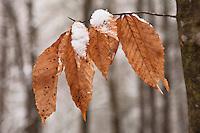 Fresh snow and winter beech tree, Unicoi County