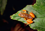 Golden mantella frog, Madagascar