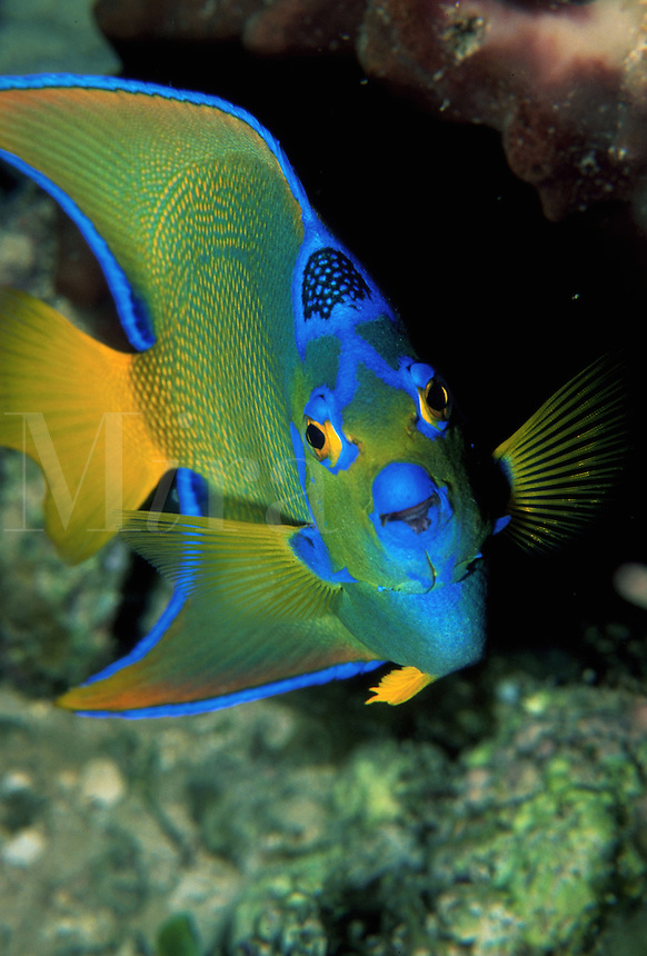 Close up of a Queen angelfish. Cayman Brac.