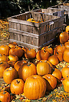 Orange Pumpkins For Sale