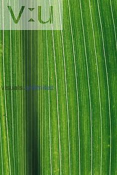 Parallel veins of popcorn leaf Monocot