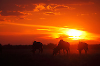 A herd of Blue Wildebeest grazing in a pan under one of those immensely spectacular colourful Kalahari sunset skies.