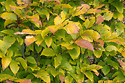 Beechnut Leafs changing colors during the autumn  months