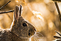 Cottontail Rabbit, Market Like Wildlife Refuge, Roberts Idaho
