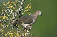 White-tipped Dove, Leptotila verreauxi, adult , Starr County, Rio Grande Valley, Texas, USA, May 2002