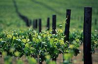 Océanie/Australie/Australie Méridionale/Clare Valley/Polish Hill RIver : Vignoble de chez Pikes