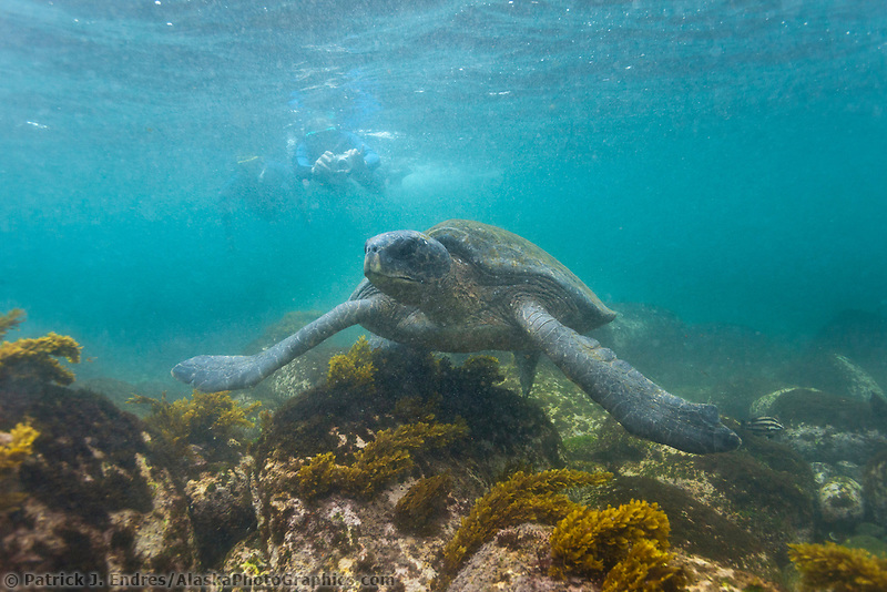 Snorkelers get underwater views of the Galapagos green turtle, Isabella Island, Galapagos Islands, Ecuador.