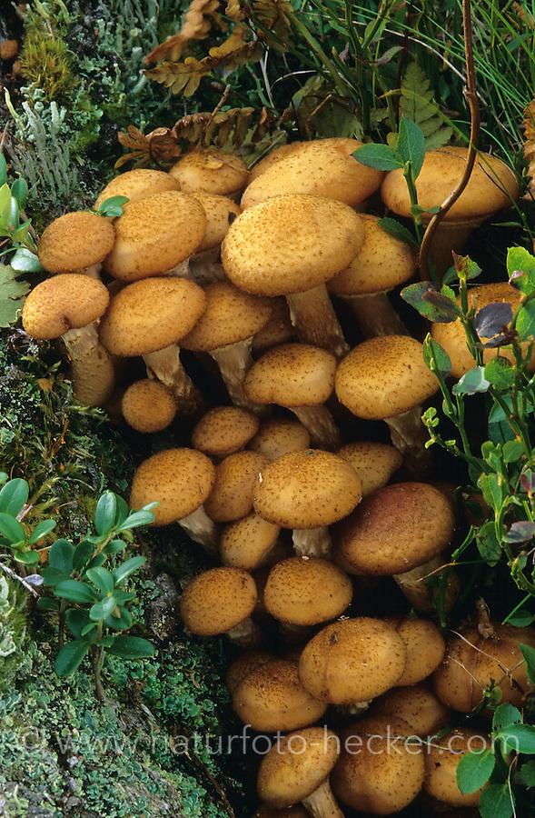 Gewöhnlicher Hallimasch, Gemeiner Hallimasch, Dunkler Hallimasch, Armillaria ostoyae, Armillaria polymyces, Sammelart Armillaria mellea, honey fungus, honey agaric