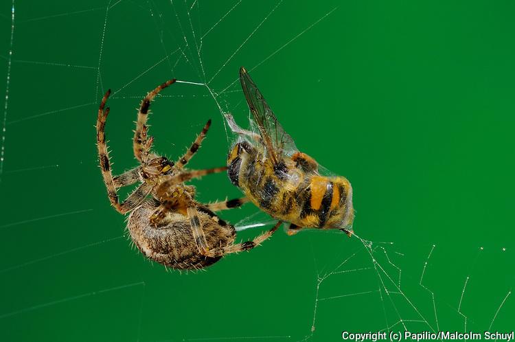 Garden Orb Spider (Araneus diadematus) in web catching hoverfly, Oxfordshire.