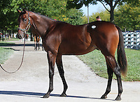 Hip #10 Broken Vow - Playa Maya colt at the  Keeneland September Yearling Sale.  September 9, 2012.