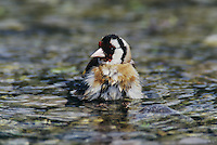 European Goldfinch, Carduelis carduelis, adult bathing, Scrivia River, Italy, Europe