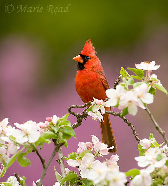 Northern Cardinal (Cardinalis cardinalis), male perched amid apple blossom, New York, USA<br />
