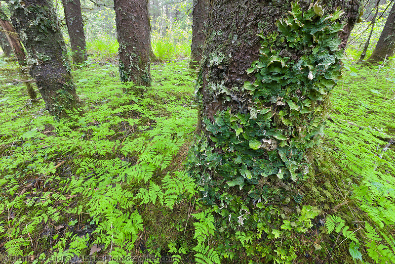 Moss on trees, Chugach National Forest, southcentral, Alaska.