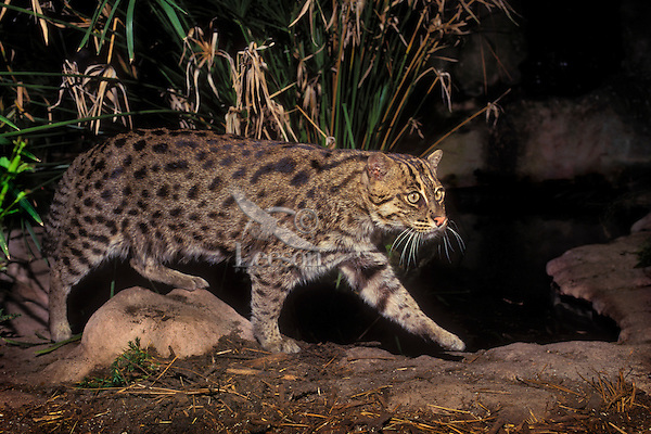 FISHING CAT. Sumatra, Java, Sri Lanka,.Indochina & SW India. (Felis viverinna).