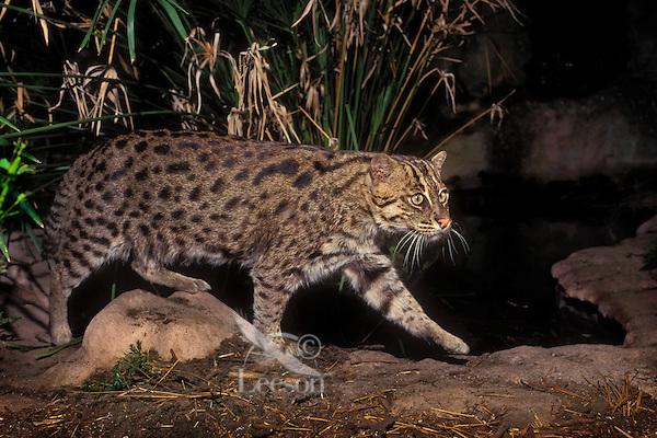 FISHING CAT. Sumatra, Java, Sri Lanka,.Indochina & SW India. (Felis viverinna).