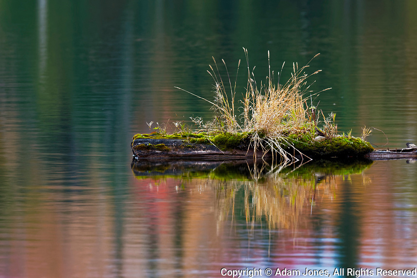 Grass growing on floating log and fall colors reflection, Council Lake, Hiawatha National Forest, Upper Peninsula of Michigan.